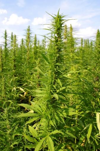 hemp plant bing images