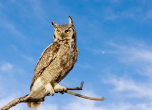 owl great horned