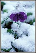 flowersViolets in the snow
