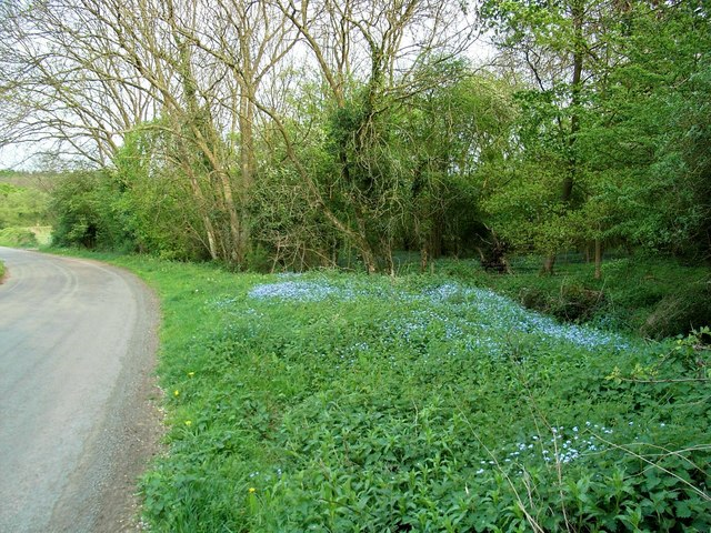 Forget-me-nots_-_geograph-1.org.uk_-_414437